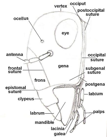 Diagram of an insect - side view of head - BugGuideNet