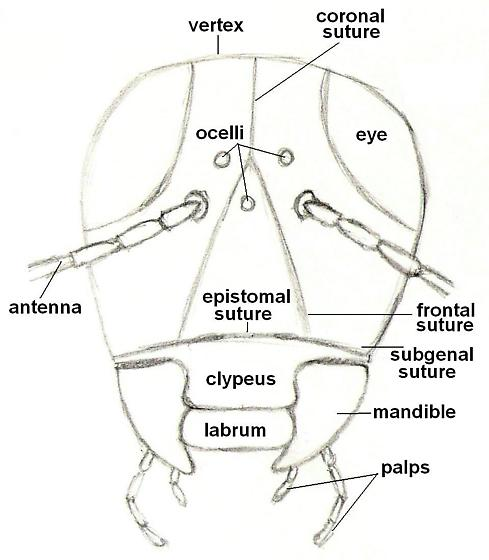 Diagram of an insect - front view of head - BugGuideNet