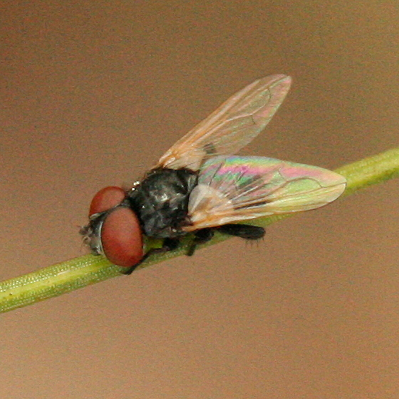 Small black fly with big red eyes - Phasia - BugGuideNet