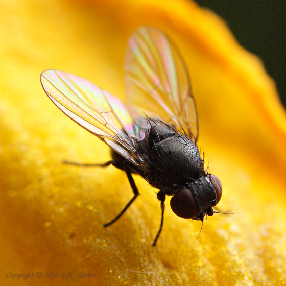 Small Black Fly - Ophiomyia kwansonis - BugGuideNet