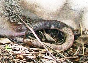 Virginia Opossum, Temple, TX, 9 March 2001: prehensile tail