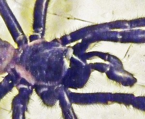 Mygalomorph, Joy R 031910, pars cephalica and palpae