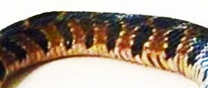Blotched Water Snake (Nerodia erythrogaster transversa), 040410 Ramona R., Fulshear, Texas--midbody