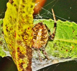 Arabesque Orbweaver (Neoscona arabesca); Julia E., Lufkin, Texas 1108 Dorsal abdomen, from retreat
