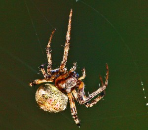 Arabesque Orbweaver (Neoscona arabesca); Julia E., Lufkin, Texas 1108 Dorsofrontolateral view