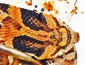 Eastern Hog-nosed Snake (Heterodon platirhinos), 040510, Shirley, Kempner, TX--dorsal head