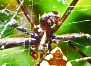Araneidae: yellow garden spider (Argiope aurantia; Lucas, 1833); male ventroposterior, showing distal palps; Joy R., San Antonio, TX--29 Jul 2010