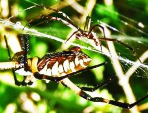 Araneidae: yellow garden spider (Argiope aurantia; Lucas, 1833); male lateral body; female lateral abdomen; Joy R., San Antonio, TX--29 Jul 2010