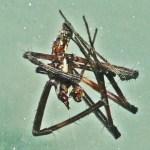 083110 072800 Araneidae: yellow garden spider (Argiope aurantia); ventrum of dead male; Amy P., Ponder TX