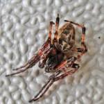 IMG_2053_Walden Marina 20 Sep 2010 Larinioides sclopetarius Clerck Male