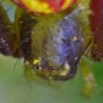 Thomisid Crab Spider female: dorsoposterior carapace; Regina Weishuhn, Grand Prairie, TX --- 16 April 2012