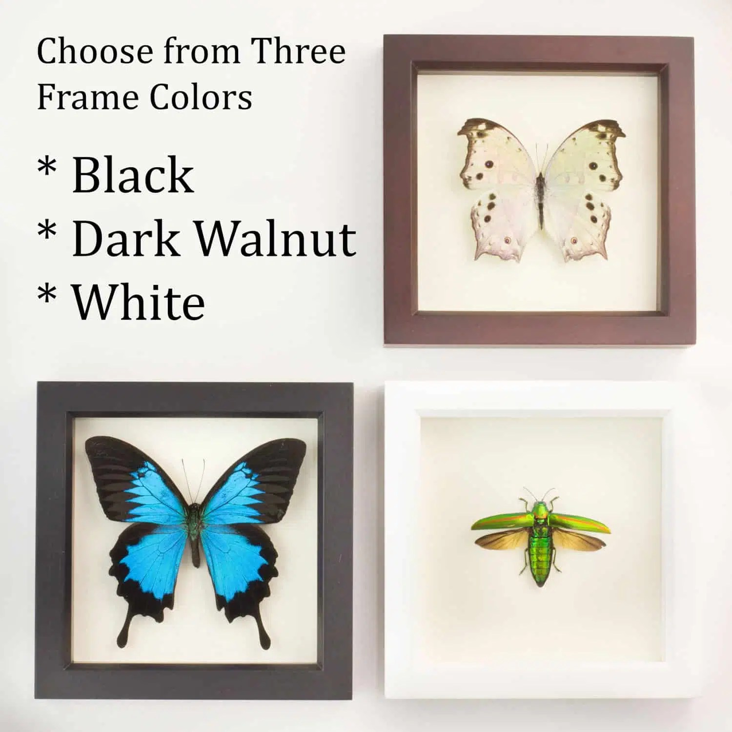 Frame Picture Framed Luna Moth