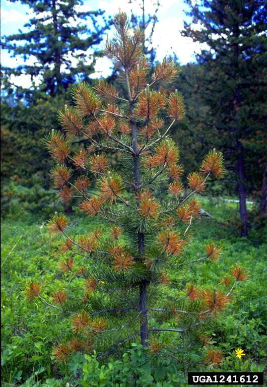 Box Spring Lodgepole Pine Needlecast (lophodermella Concolor ) On