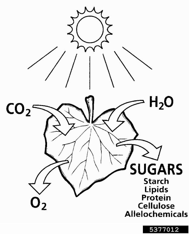 tree photosynthesis diagram