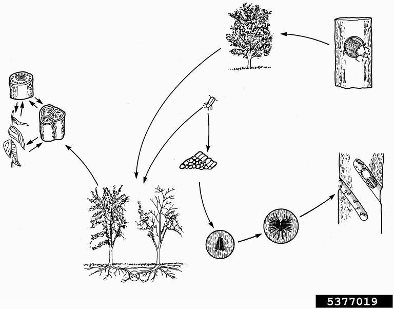Dutch elm disease (diagnostics) - Bugwoodwiki