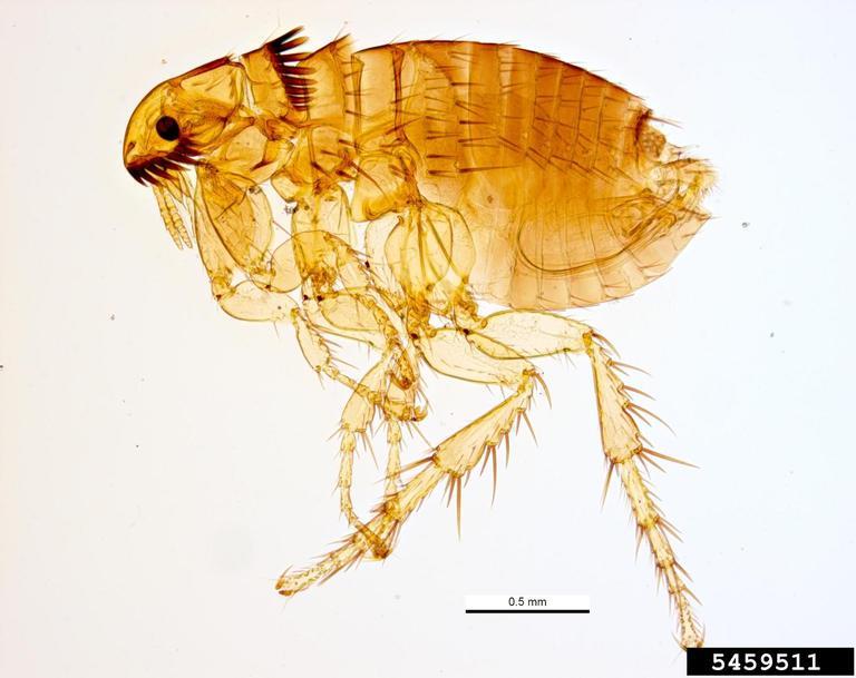 Cat Flea Ctenocephalides Felis Siphonaptera Pulicidae