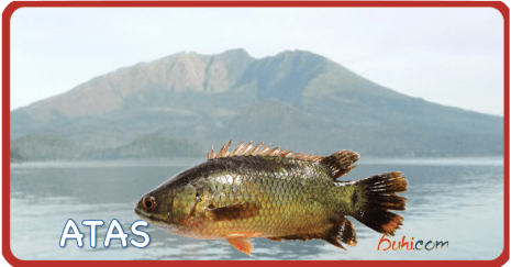 Atas / Climbing Perch