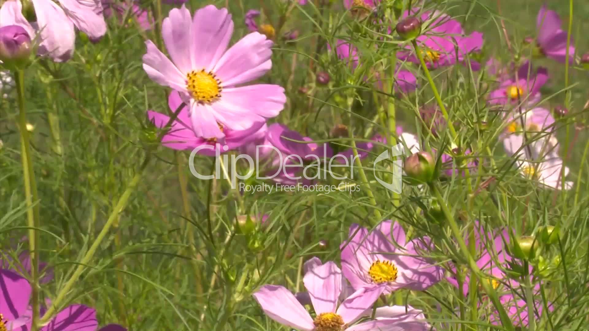 Pinke Blumen Pinke Rosa Blumen Cosmea Royalty Free Video And Stock Footage