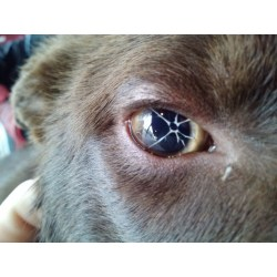 Small Crop Of Dogs Eyes Are Red