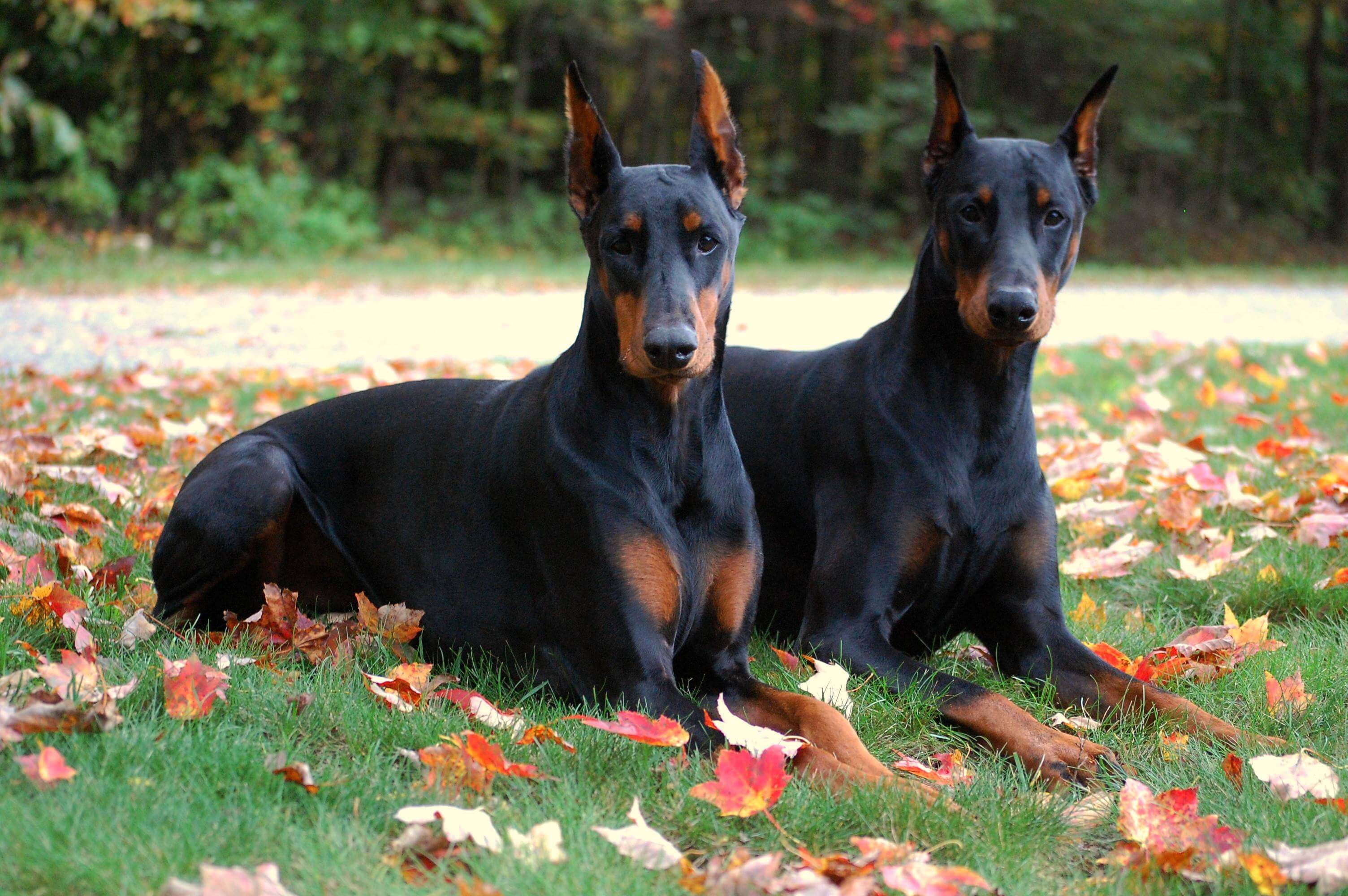 Doberman 1 Mes 15 Things Only Doberman Parents Understand