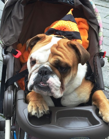 English bulldog Charlie has hitched himself a ride around the Boston Pet Parade. | Photo by Siena Tauber
