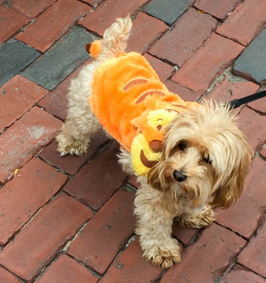 Ellie, the maltipoo, dressed as Tigger from Winnie the Pooh. | Photo by Olivia Drago