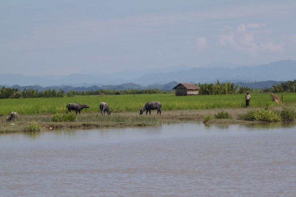 Water buffalo along the river