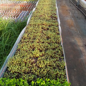 Micro Greens and Shoots