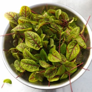 Red Leaf Sorrel