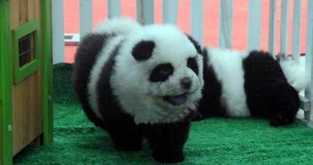 パンダ犬チャウチャウ (1)