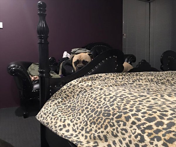 creepy-dog-stalks-owner-cyrus-bullmastiff-lauren-birney-23_001_R
