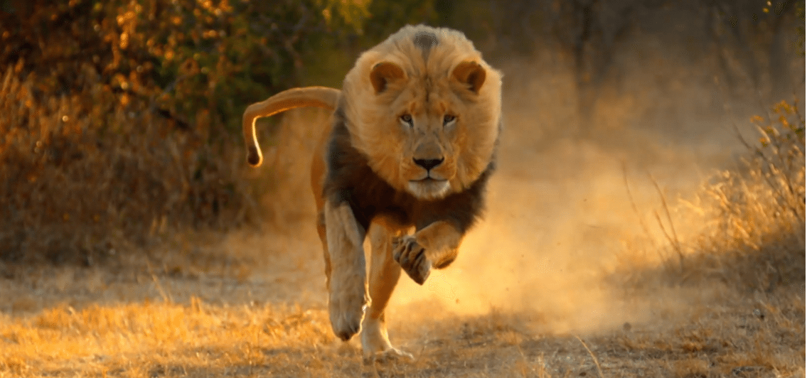 Zedge Full Hd Wallpaper Lion Escapes From Jos Wild Life Park