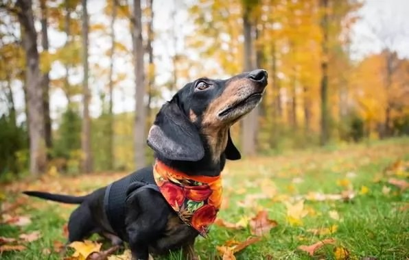 Cute Merry Christmas Wallpaper Dogs 9 Reasons Why Dachshunds Are The Best Dogs Ever