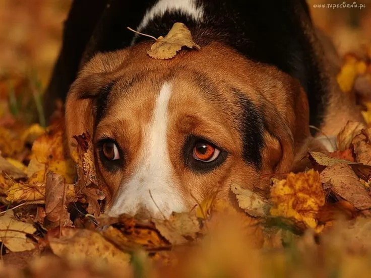 Rottweiler Fall Wallpaper 10 Reasons Why Beagles Are The Best Dogs Ever