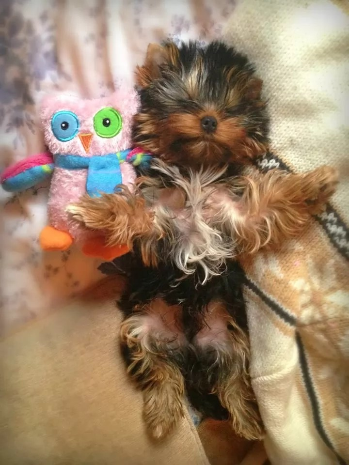 Cute Yorkie Wallpaper 12 Reasons Why You Should Never Own Yorkshire Terriers