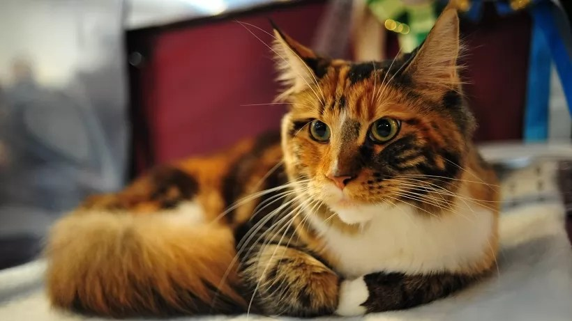 Fall In Maine Wallpaper 10 Best Maine Coon Cat Names
