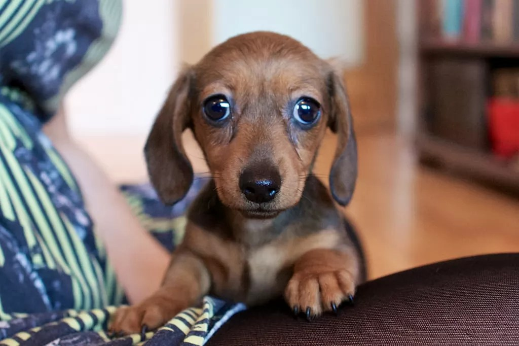 Cute Rottweiler Puppy Wallpaper 10 Best Dachshund Dog Names