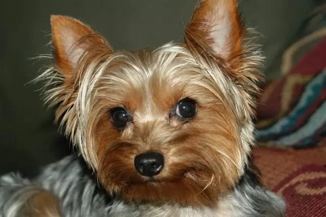Cute Rottweiler Puppy Wallpaper 10 Best Yorkshire Terrier Dog Names