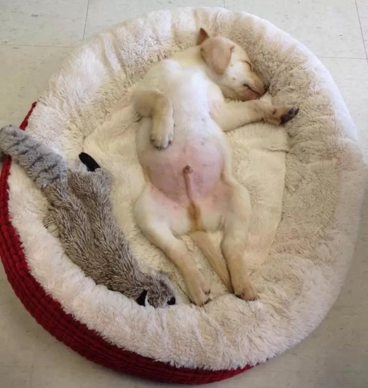 Cute Sleeping Puppy Wallpaper Labradors Most Fantastic Amp Awkward Sleeping Positions