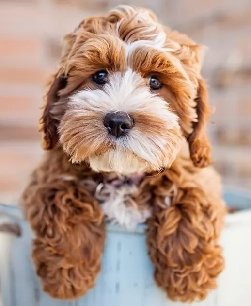 Image For Unreal Shih Tzu Cross Breeds You Have To See To Believe