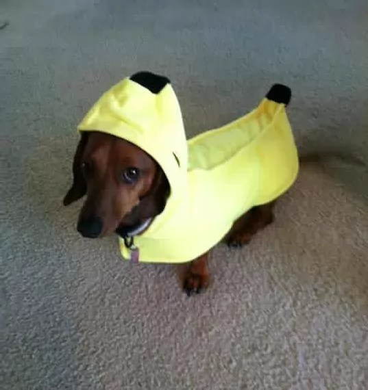 19 Costumes That Prove Dachshunds Always Win At Halloween