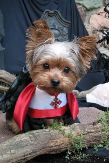Cute Yorkie Wallpaper 10 Costumes That Prove Yorkshire Terriers Always Win At