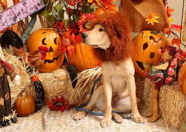 Really Cute Thanksgiving Wallpaper 19 Costumes That Prove Labradors Always Win At Halloween