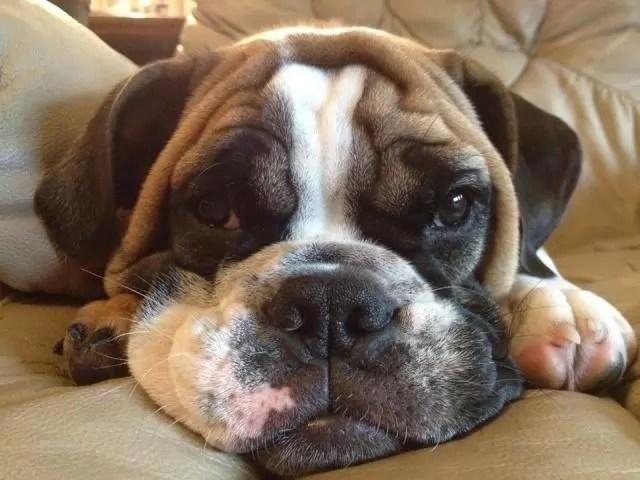 Cute Saint Bernard Puppies Wallpaper 10 Unreal English Bulldog Cross Breeds You Have To See To