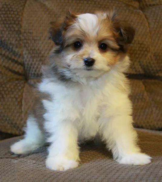 pom a pug pug x pomeranian puppy
