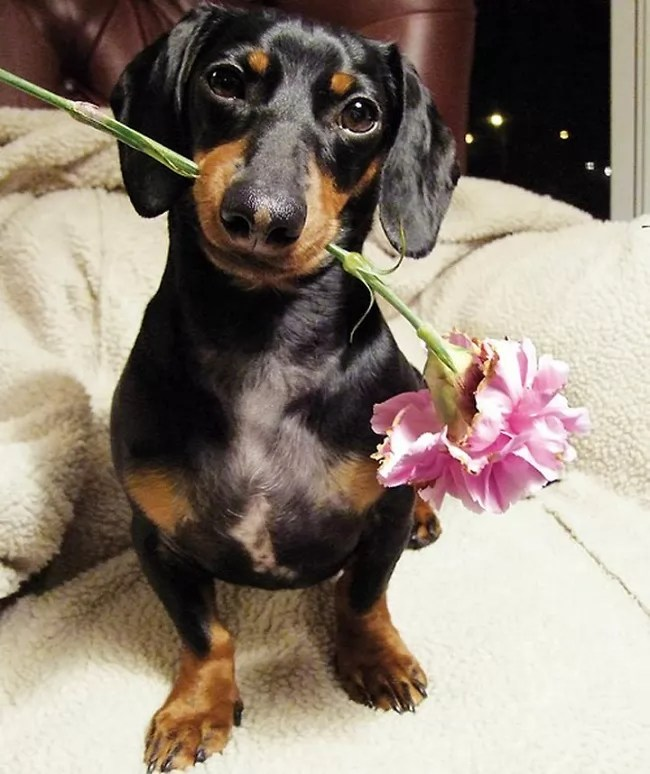 Cute Rottweiler Puppy Wallpaper 16 Things That Make Dachshunds Happy