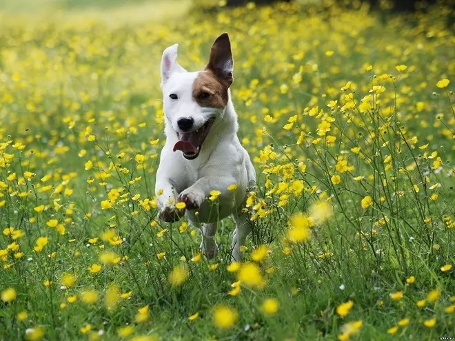 Playing In The Fall Wallpaper 14 Things That Make Jack Russells Happy