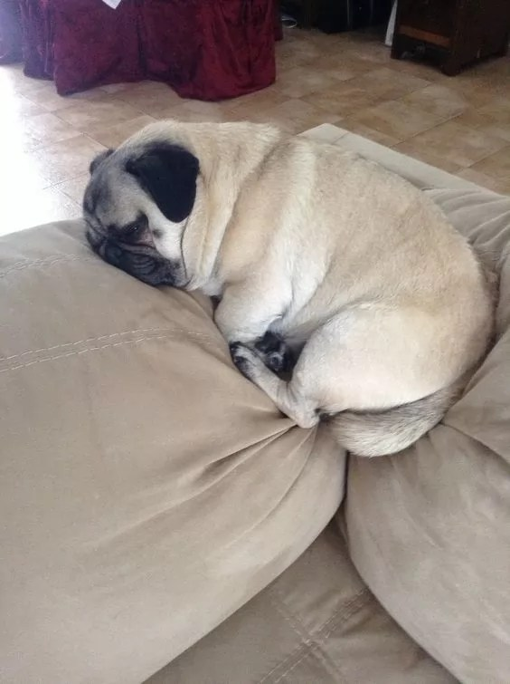 Fall Home Wallpaper 18 Hilarious Photos That Prove Pugs Can Sleep Absolutely