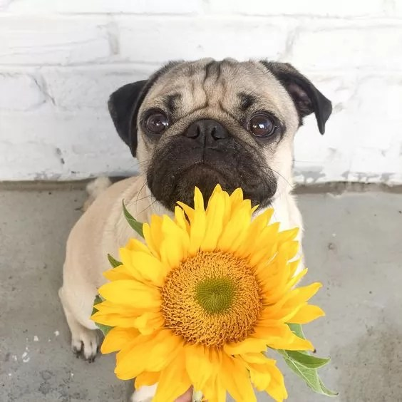 Cute Rottweiler Puppy Wallpaper 10 Pugs Stopped To Smell The Flowers Too Cute