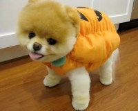 10 Costumes That Prove Pomeranians Always Win At Halloween